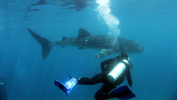 Scuba Diver and Whale Shark in Cebu