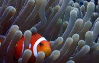 Clownfish in Moalboal, Cebu