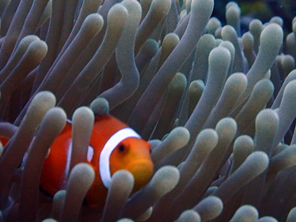 Clownfish in Moalboal, Cebu