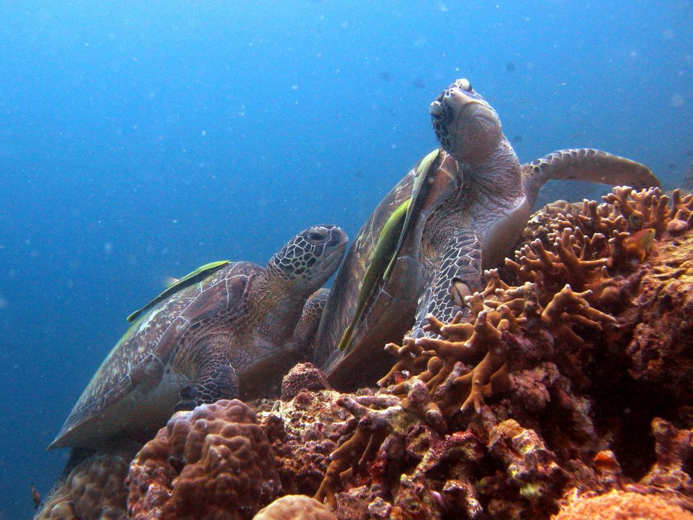 Turtles playing in Pescador Island in Moalboal