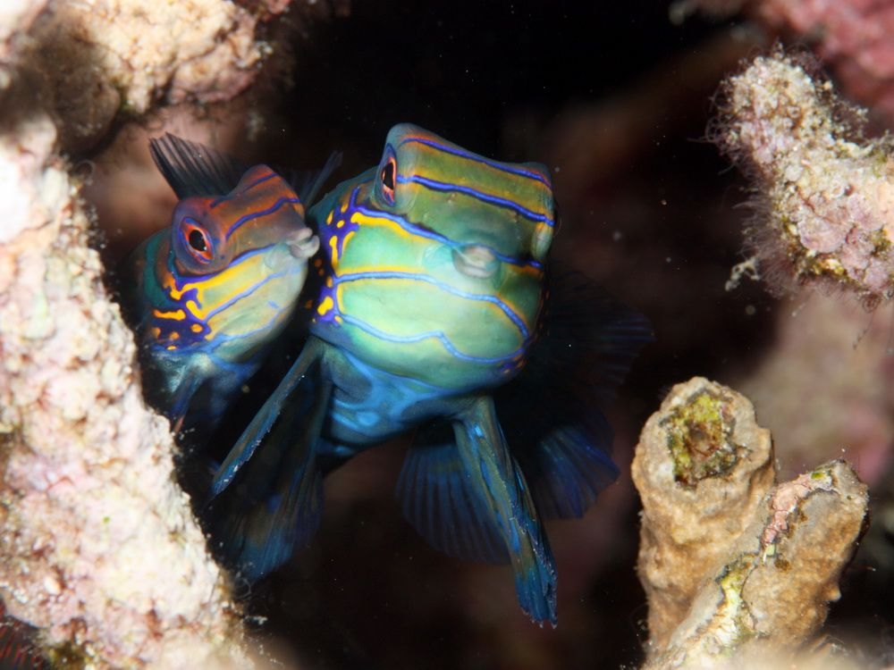 Mandarin Fish in Moalboal, Cebu