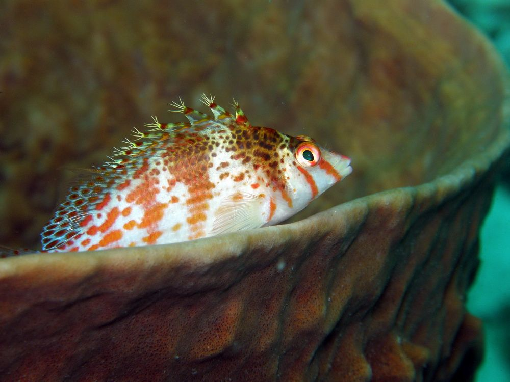 Hawk Fish in Moalboal