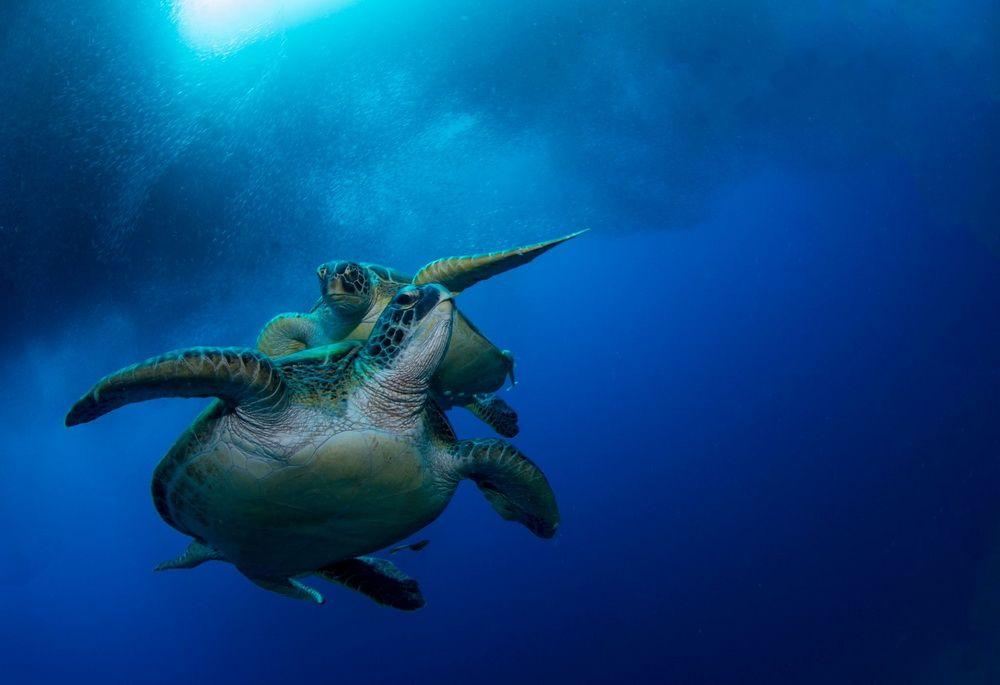 Sardines and Turtles in Moalboal, Cebu, Philippines