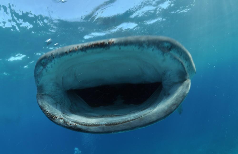 Sharks & Whale Sharks of Cebu